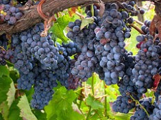 Aglianico (Flickr: Vineyard Adventures)