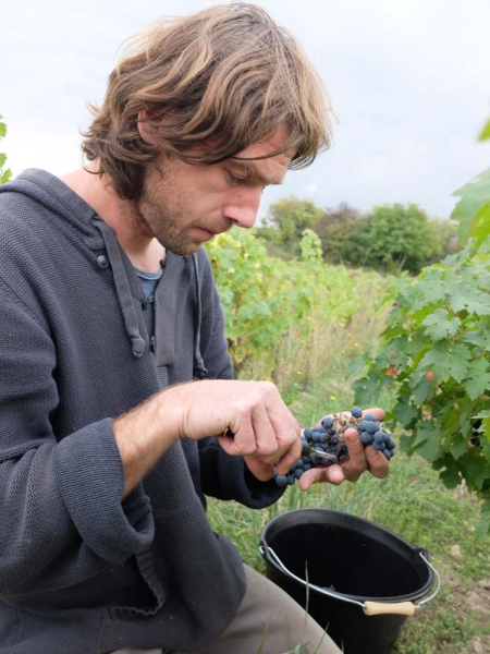 1damien_menut_sorting_cabernet_grapes